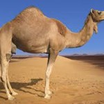 Is a Good Camel one step towards an enlightened life?