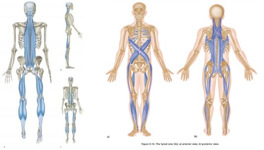 Images of some of the anatomy trains of the body.